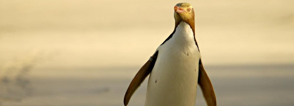 The yellow-eyed penguin could disappear from its Otago habitat by 2060.