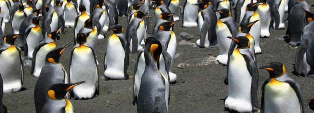 World's Biggest King Penguin Colony Shrinks 90%