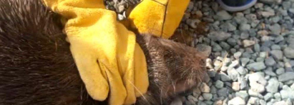 Porcupine Injury Points to Cheetah in Kurdestan