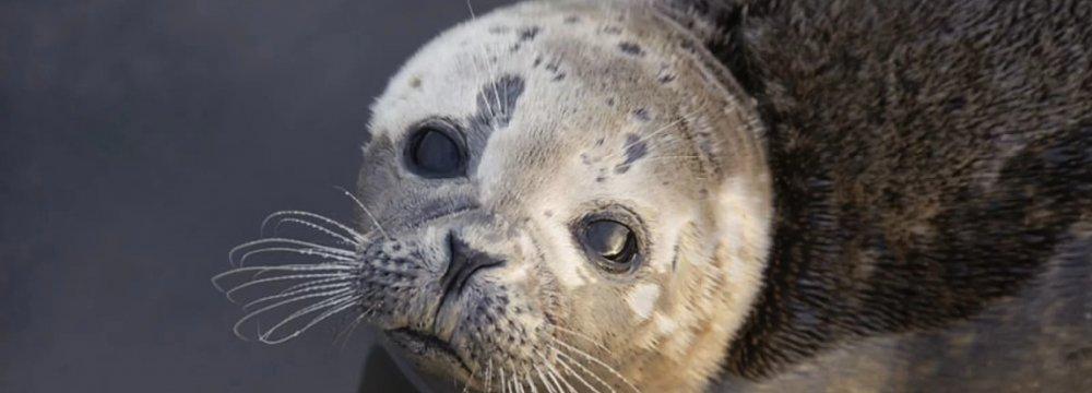 Survival of Caspian Seals in Doubt