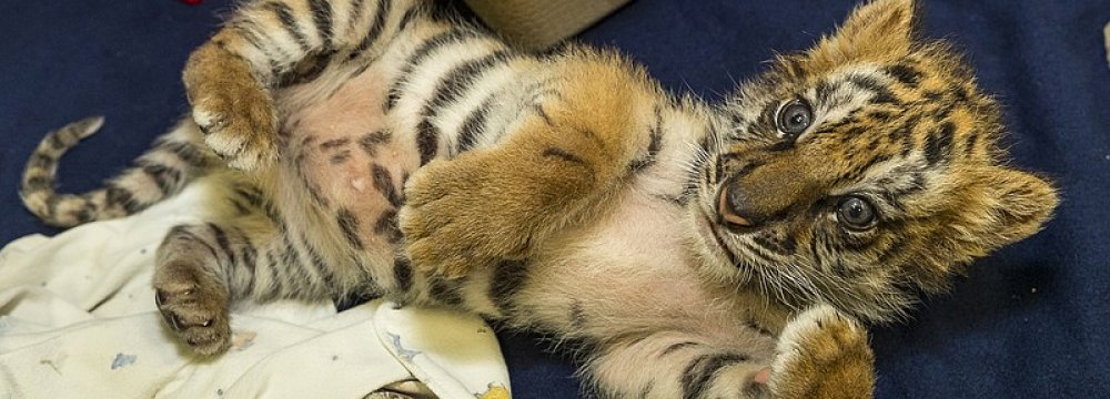 US Teenager Jailed for Smuggling Tiger Across Mexico Border