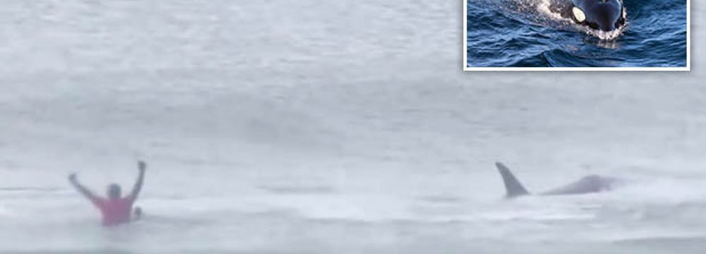 Killer Whales Appear During Norway Surfing Contest