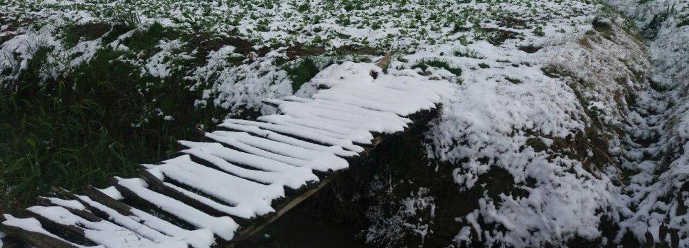 Frost Damages Saffron Fields