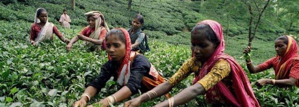 Bangla Tea Output at Record High