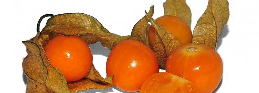 Physalis Fruit Grown in Bushehr