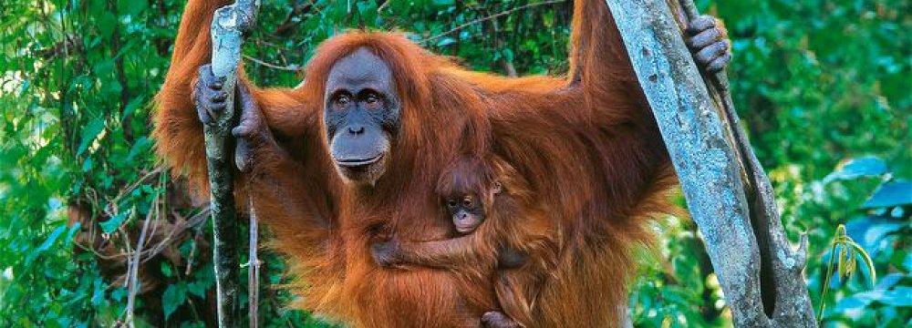 Orangutan Population Up Despite Threats