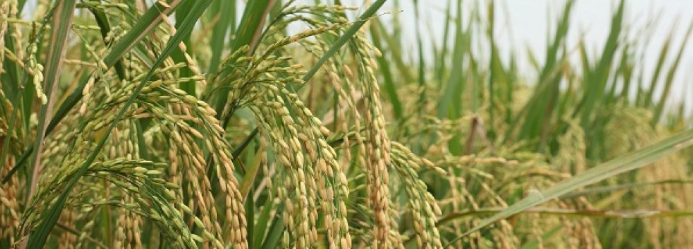 Rice Output Estimated at 2.2m Tons