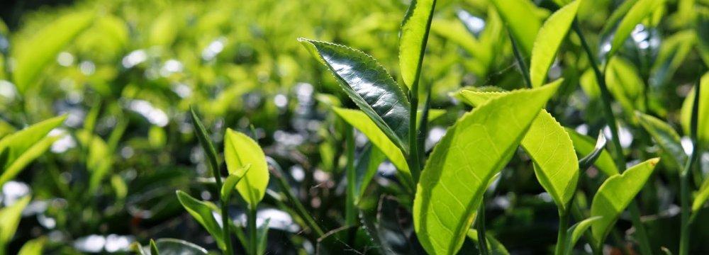 Iran's Tea Production Up 60%
