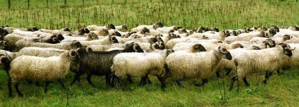 Livestock Exports to Persian Gulf Region Increase