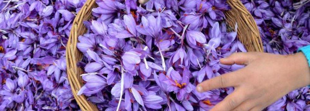 Saffron Production Hit 350 Tons