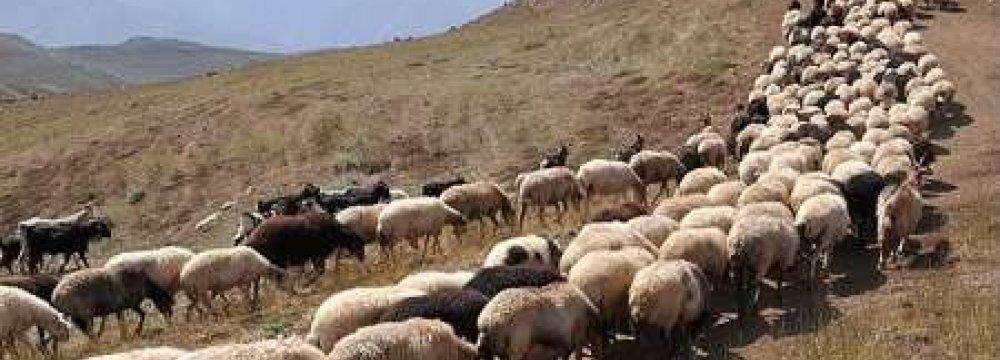 Nomads Export Livestock