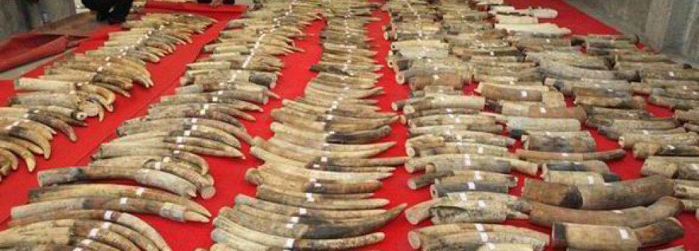 Cambodia Seizes 600 Kg of Ivory