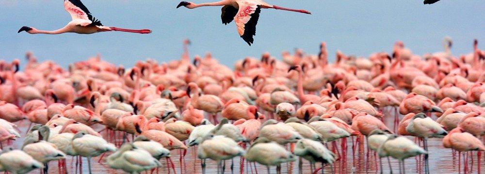 More Flamingos Return to Urmia Lake in Summer