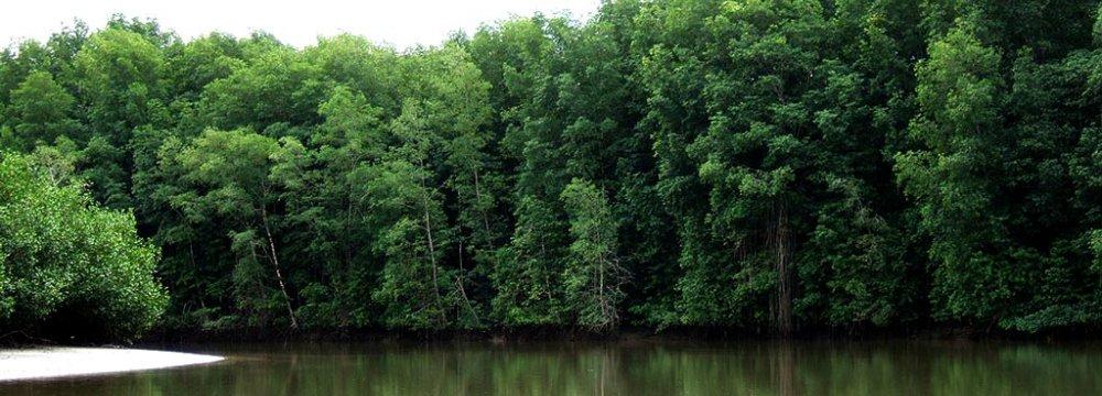 Baluchistan Mangrove Forests Growing