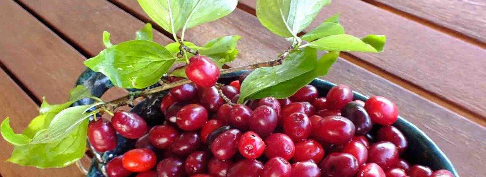 Cornelian Cherry Production at 4,000 Tons