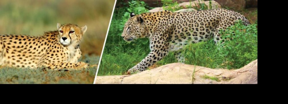 The DOE's opposition stems from its concern for the survival of the Asiatic cheetah (L) and Persian leopard.