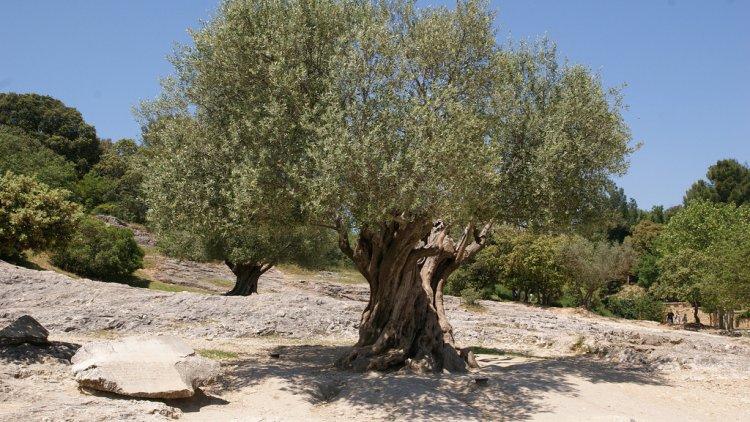 Menu For Olive Garden: Olive Can Curb Desertification