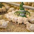 19% Rise in Chicken Production