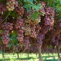 Iran 8th Biggest Grape Producer