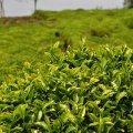 Tea Production Down 23%