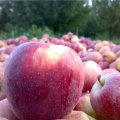 Apple Exports Top $760m in 9 Months