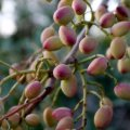 Iran's pistachio sector is second in the world.