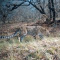 Over the past eight years, 166 leopards have died across the country.