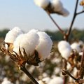 22K Tons of Cotton Imported in 4 Months
